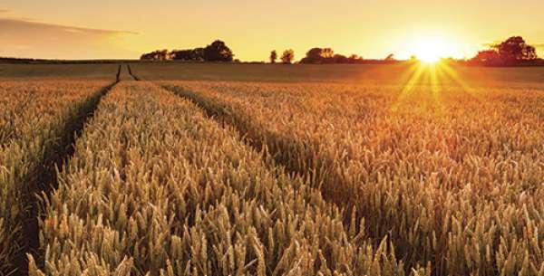 Sm Wheat Sunset